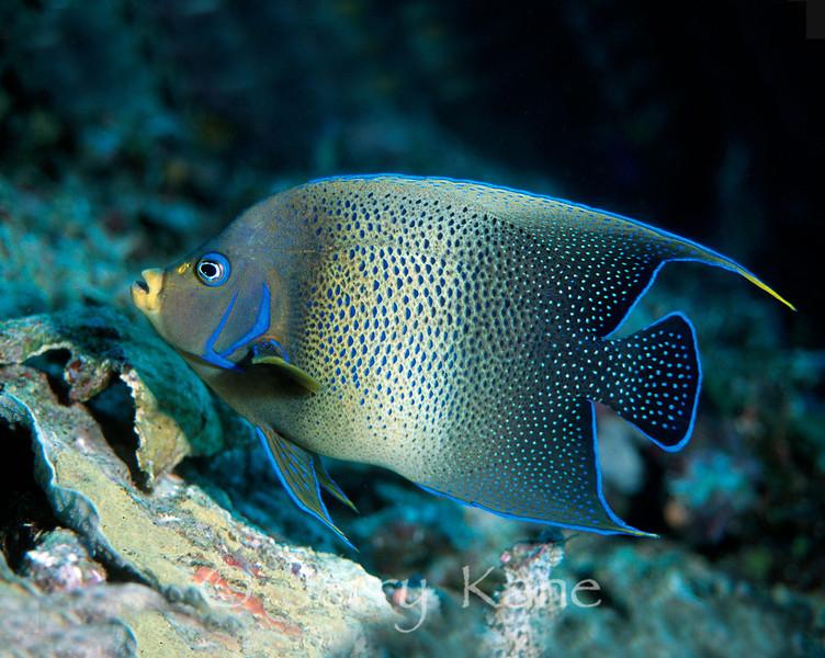 Semi-Circle Angelfish (Pomacanthus semicirculatus) - Milne Bay, Papua New Guinea
