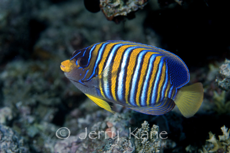 Regal Angelfish (Pygoplites diacanthus) - Milne Bay, Papua New Guinea