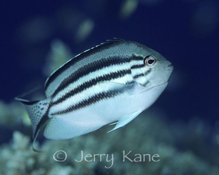 Lamark's Angelfish (Genicanthus lamark) - Milne Bay, Papua New Guinea
