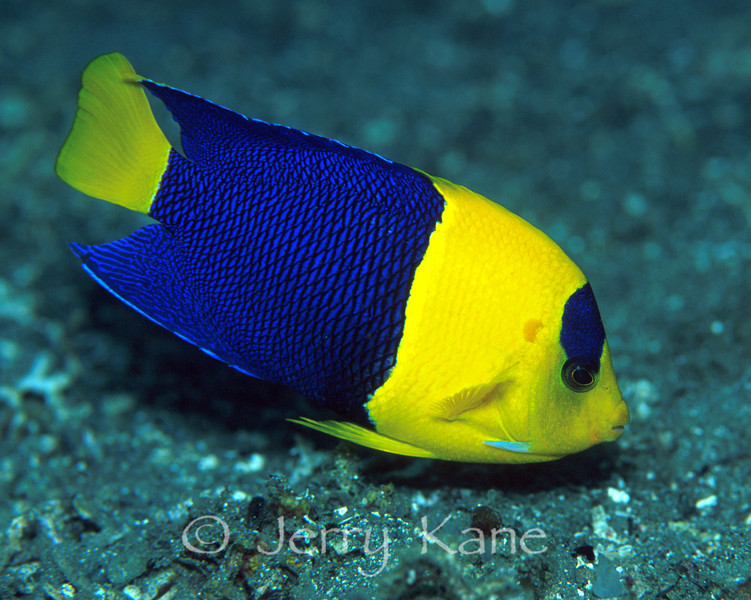Bicolor Angelfish (Centropyge bicolor) - Milne Bay, Papua New Guinea
