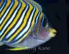 Regal Angelfish (Pygoplites diacanthus) - Wakatobi, Onemobaa Island, Indonesia