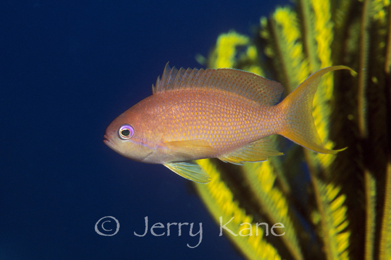 Scalefin Anthias, female (Pseudanthias squamipinnis) - Anilao, Philippines