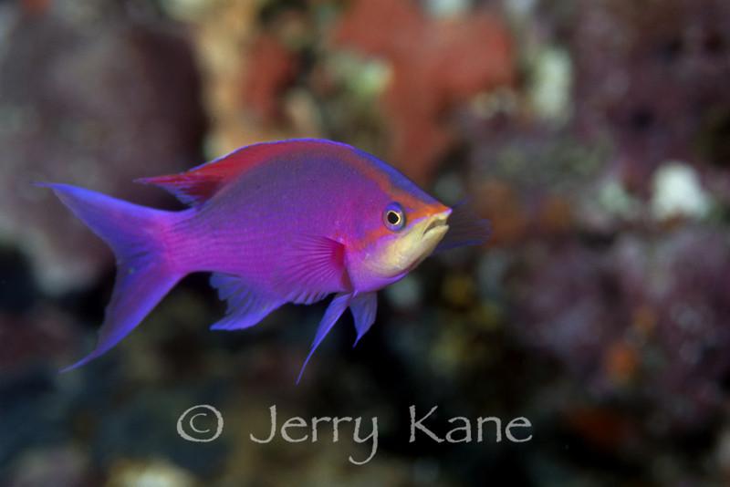 Purple Queen Anthias (Pseudanthias tuka) - Papua New Guinea