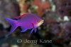 Purple Queen Anthias (Pseudanthias tuka) - Papua New Guinea