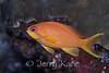 Scalefin Anthias, female (Pseudanthias squamipinnis) - Wakatobi, Onemobaa Island, Indonesia