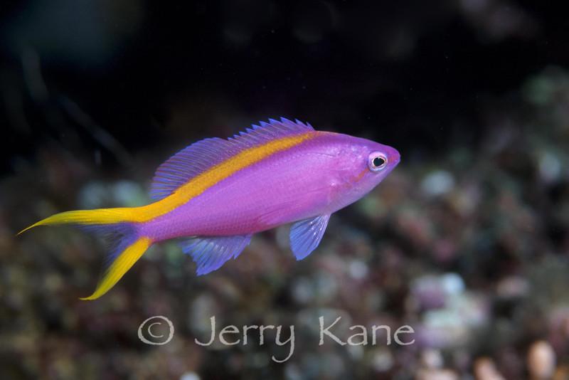 Purple Queen Anthias, female (Pseudanthias tuka) - Wakatobi, Onemobaa Island, Indonesia