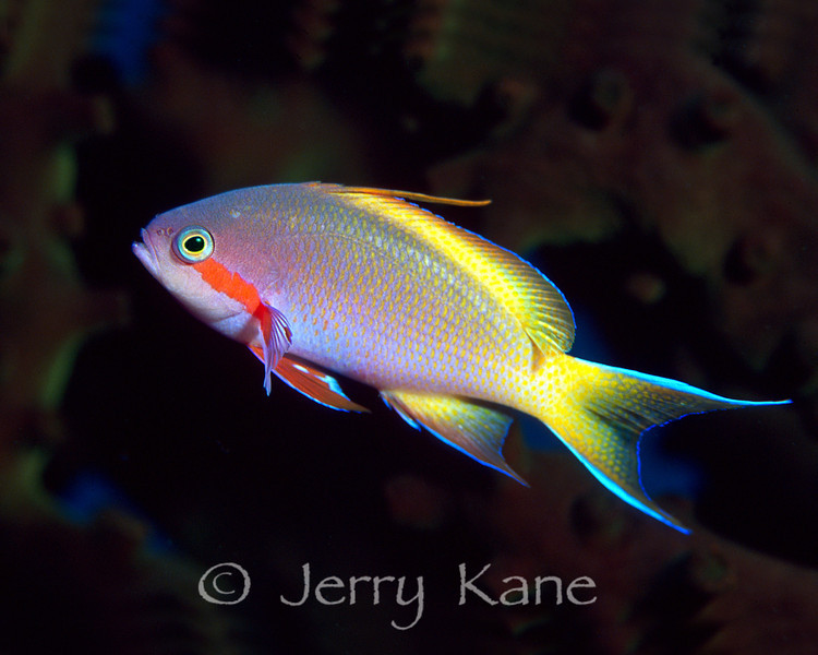 Red Cheeked Basslet (Pseudanthias huchtii) - Milne Bay, Papua New Guinea