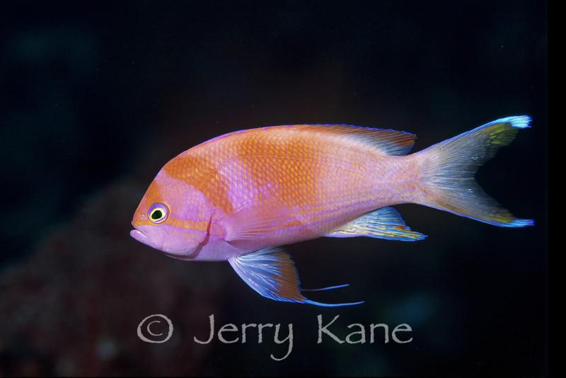 Squarespot Anthias, female changing to male  (Pseudanthias pleurotaenia) - Wakatobi, Onemobaa Island, Indonesia