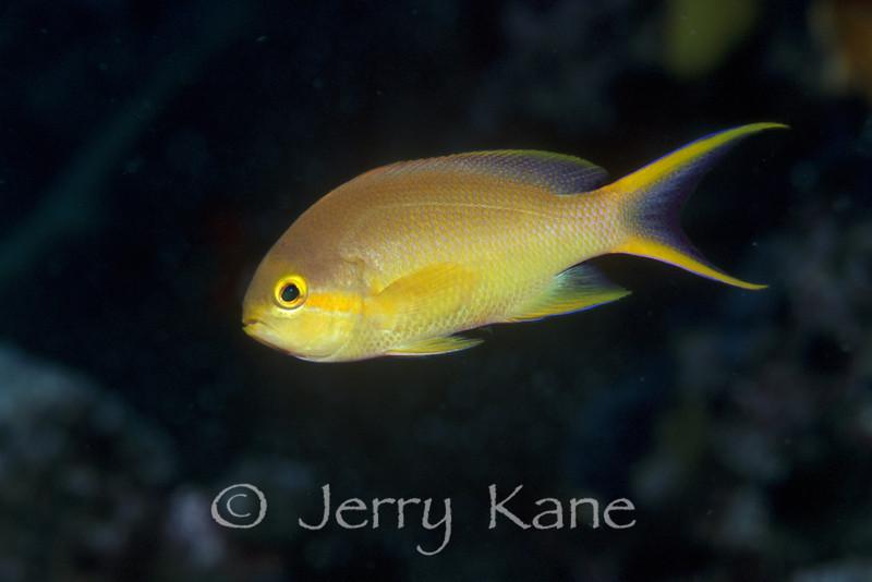 Scalefin Anthias, female (Pseudanthias squamipinnis) - Solomon Islands