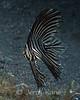 Juvenile Zebra Batfish (Platax batavianus) - Lembeh Strait, Indonesia