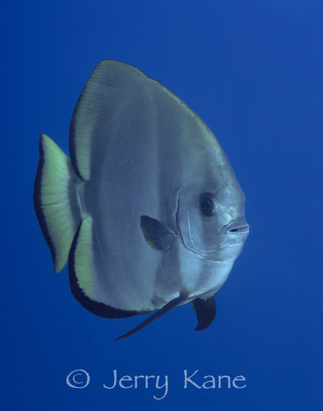 Round Batfish (Platax orbicularis) - Milne Bay, Papua New Guinea