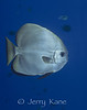 Round Batfish (pPatax orbicularis) - Milne Bay, Papua New Guinea