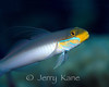 Golden Head Sleeper Goby (Valenciennea strigata) - Milne Bay, Papua New Guinea