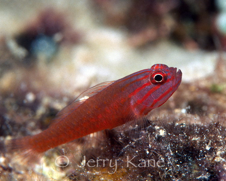 Redlined Pygmy Goby (Trimma sp 2) - Solomon Islands
