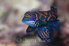 Mandarin Fish (Synchiropus splendidus) - Lembeh Strait, Indonesia