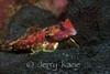 Bartel's Dragonet (Synchiropus bartelsi) - Anilao, Philippines