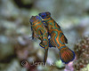 Mating Mandarin Fish (Synchiropus slpendidus) - Milne Bay, Papua New Guinea