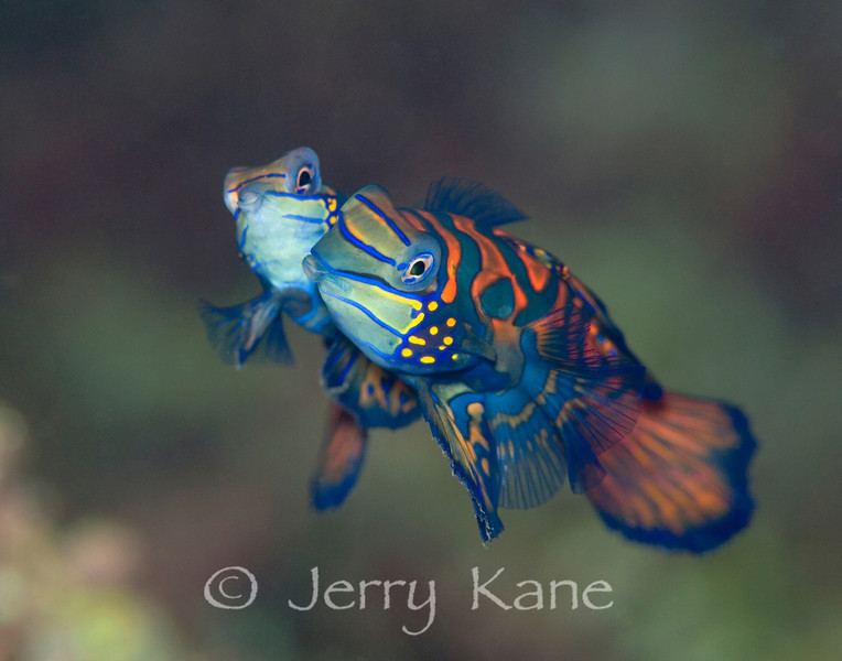 Mating Mandarin Fish (Synchiropus splendidus) - Lembeh Strait, Indonesia