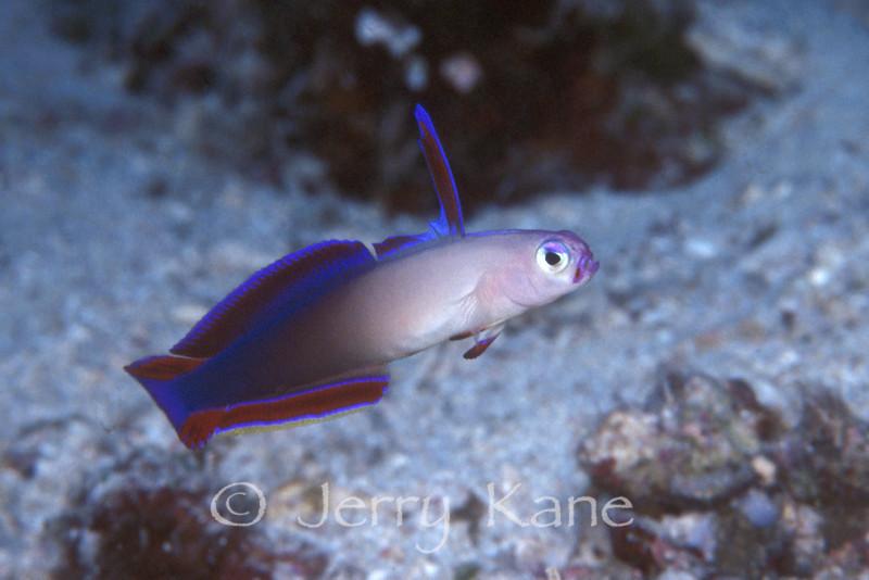 Purple Fire Dartfish (Nemateleotris decora) - Solomon Islands