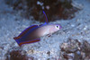 Purple Fire Dartfish (Nemateleotris decora) - Solomon Islands