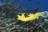 Black-spotted Pufferfish (Arothron nigropunctatus) - Milne Bay, Papua New Guinea
