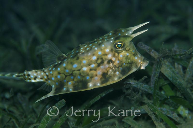 Longhorn Cowfish (Lactoria cornuta) - Milne Bay, Papua New Guinea