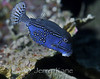 Solar Boxfish (Ostracion solarensis) - Wakatobi, Onemobaa Island, Indonesia