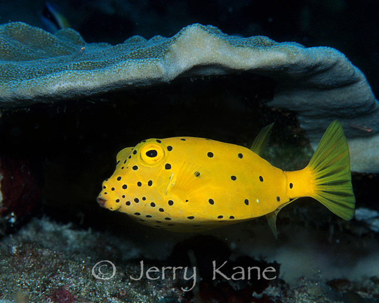 Yellow Boxfish (Ostracion cubicus) - Lembeh Strait, Indonesia