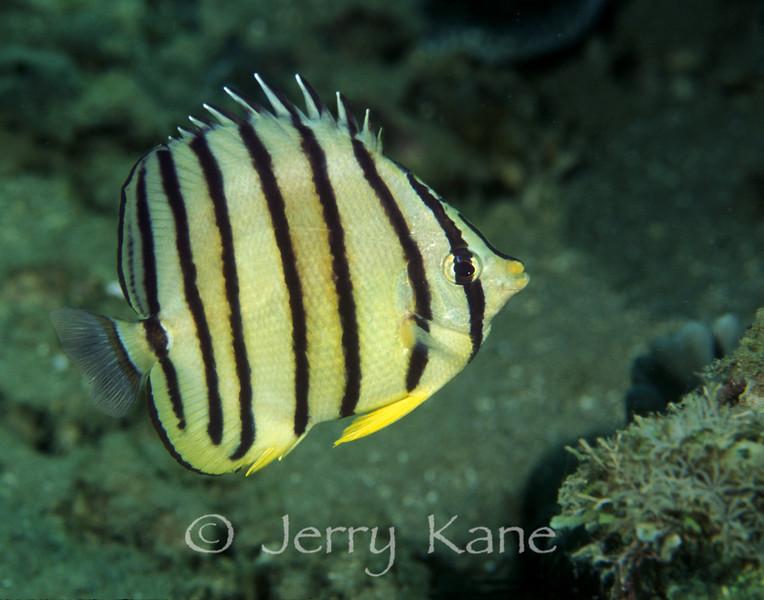 Eight-Banded Butterflyfish (Chaetodon octofasciatus) - Anilao, Philiippines