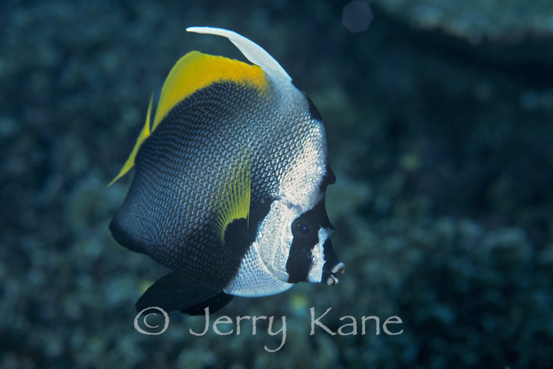 Singular Bannerfish (Heniochus singularius) - Milne Bay, Papua New Guinea