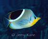 Saddleback Butterflyfish (Chaetodon ephippium) - Milne Bay, Papua New Guinea
