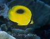 Oval-spot Butterflyfish (Chaetodon speculum) - Wakatobi, Onemobaa Island, Indonesia