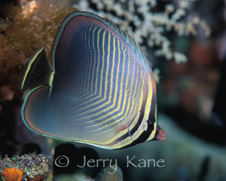 Triangular Butterflyfish (Chaetodon baronessa) - Milne Bay, Papua New Guinea