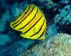 Eight-Banded Butterflyfish (Chaetodon octofasciatus) - Solomon Islands