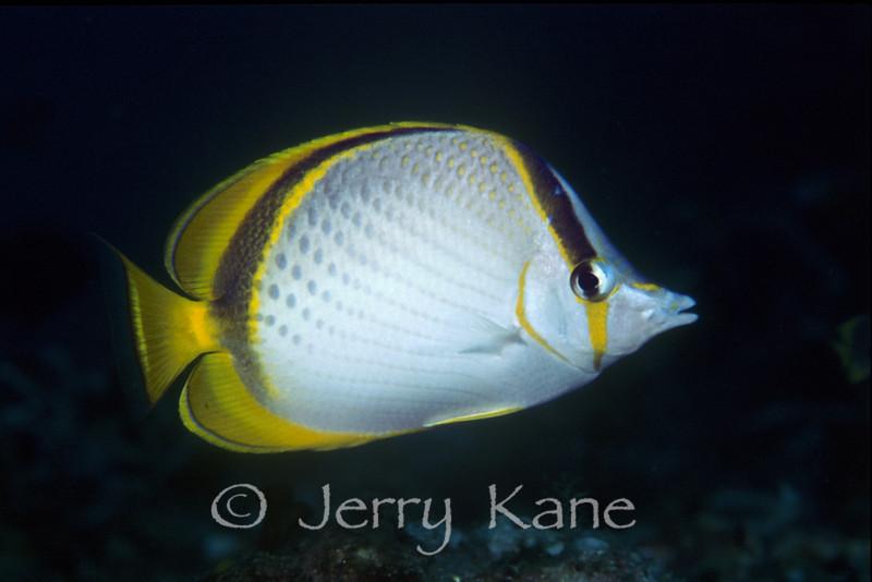 Yellow-dotted Butterflyfish (Chaetodon selene) - Anilao, Philippines