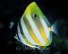 Ocellated Coralfish (Parachaetodon ocellatus) - Milne Bay, Papua New Guinea