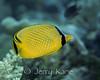 Lattice Butterflyfish (Chaetodon rafflesi) - Wakatobi, Onemobaa Island, Indonesia