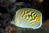 Dot & Dash Butterflyfish (Chaetodon pelewensis) - Wakatobi, Onemobaa Island, Indonesia