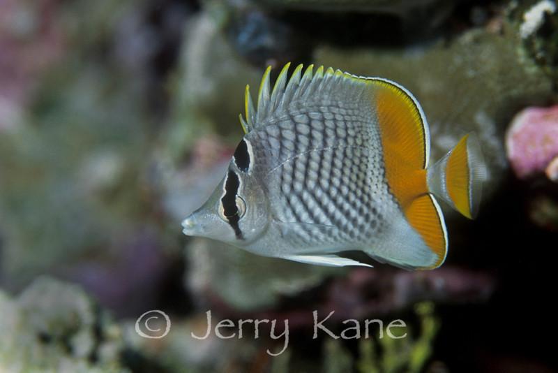 Crosshatch Butterflyfish (Chaetodon xanthurus) - Wakatobi, Onemobaa Island, Indonesia