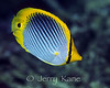 Tail Spot Butterflyfish (Chaetodon ocellicaudus) - Milne Bay, Papua New Guinea