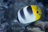 Double-saddle Butterflyfish (Chaetodon ulietensis) - Wakatobi, Onemobaa Island, Indonesia