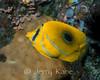 Bennett's Butterflyfish (Chaetodon bennetti) - Lembeh Strait, Indonesia