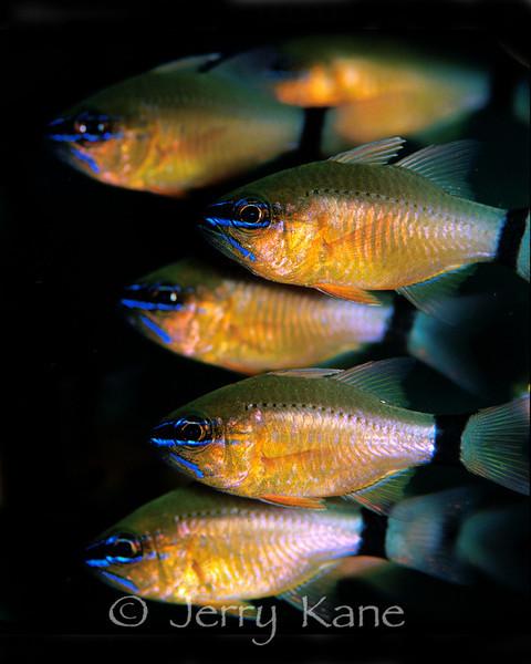 Ringtail Cardinalfish (Apogen bandanensis) - Milne Bay, Papua New Guinea