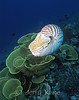 Chambered Nautilus (Nautilus pompilius) swimming above yellow scroll coral (Turbinaria reinformis) - Milne Bay, Papua New Guinea