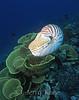 Chambered Nautilus (Nautilus pompilius) swimming above yellow scroll coral (Turbinaria reinformis) - Milne Bay, Papua New Guinea