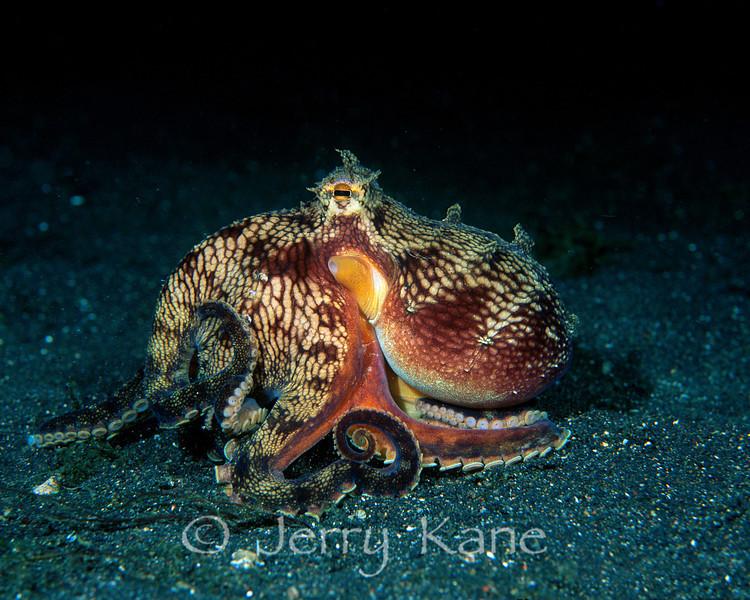 Veined Octopus (Amphioctopus marginatus) - Lembeh Strait, Indonesia