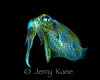 Bobtail Squid (Euprymna berryi) - Milne Bay, Papua New Guinea