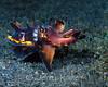 Flamboyant Cuttlefish (Metasepia pfefferi) - Lembeh Strait, Indonesia