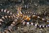 Wunderpus Octopus (Wunderpus photogenicus) - Lembeh Strait, Indonesia