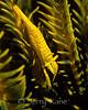 Crinoid Shrimp (Periclimenes amboinensis) - Lembeh Strait, Indonesia